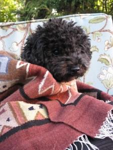 Small Poodle at Large | Harper B. | Dog Blog |Medicine Dog