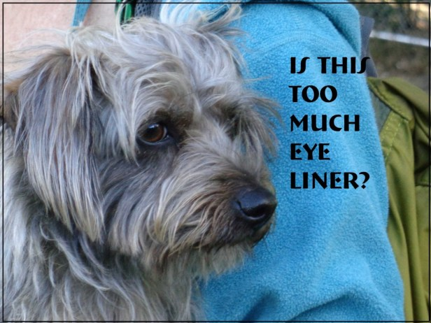 Small Poodle at Large | Secret Bark | Dog Blog