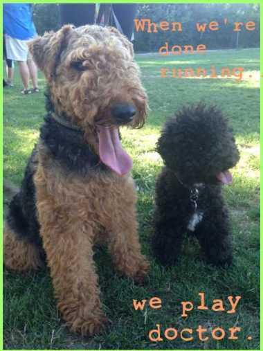 Small Poodle at Large | Harper B. | Dog Blog | Secret Bark