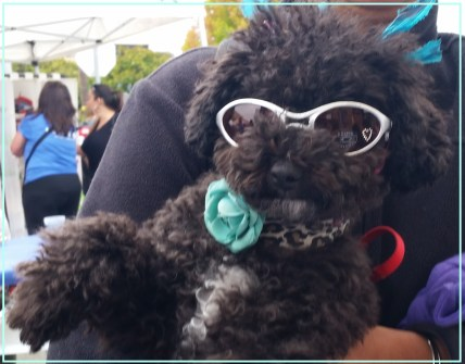 Harper B. / Small Poodle at Large / Doggles / Haute Dogue