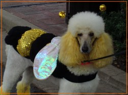 poodle day bee