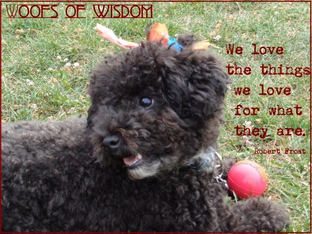Harper B. | Small Poodle at Large | We Love the Things we Love for What They Are Robert Frost