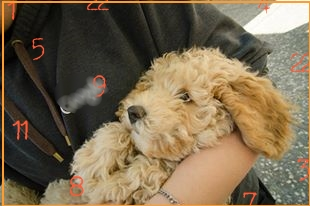 Numerology | Small Poodle at Large