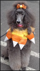 Candy Corn Poodle