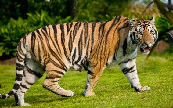 tiger-02