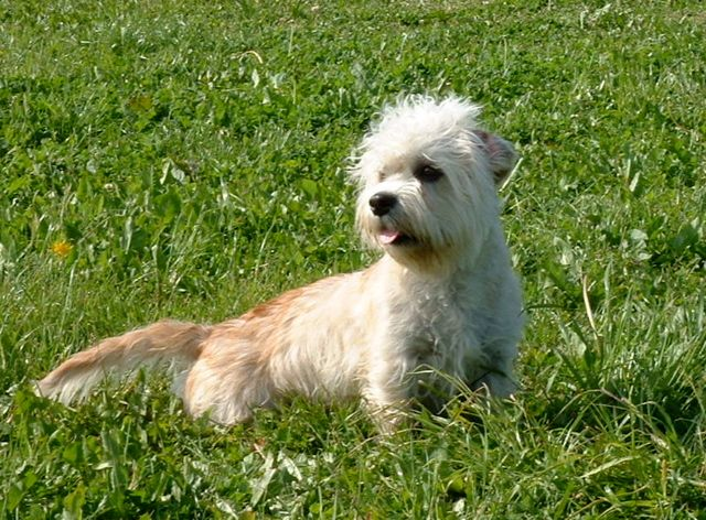 ... Dinmont Terrier Facts, Pictures, Price and Training - Dog Breeds