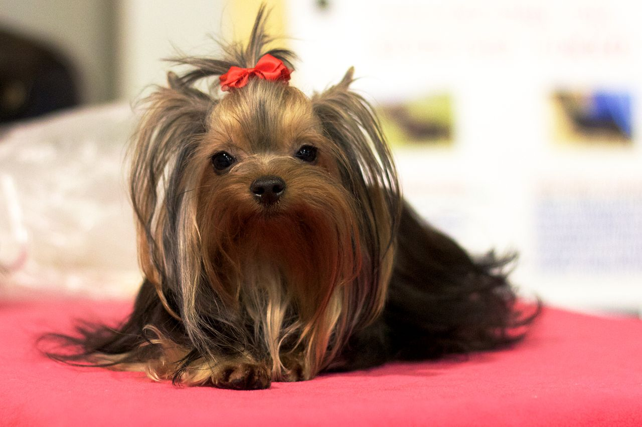 Yorkshire Terrier Facts Pictures Price And Training Dog