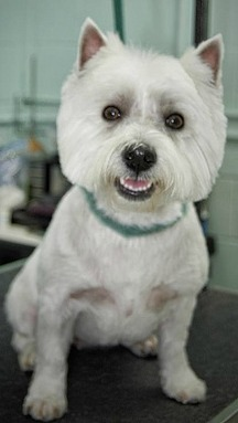 West Highland White Terrier Breed Information