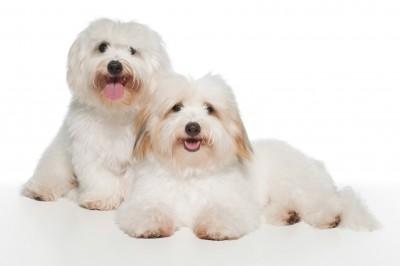 Coton De Tulear The Ultimate Fluffy Dog