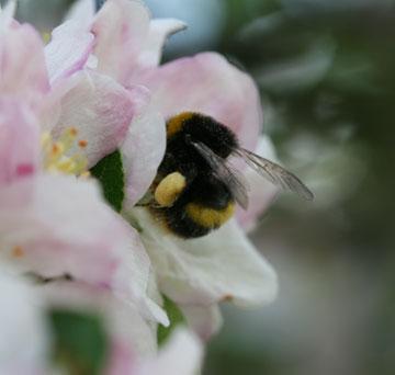 blossom_bee