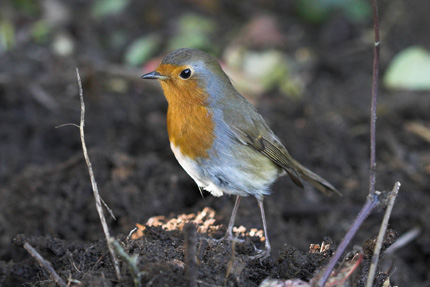 British Robin on soil