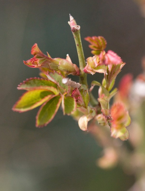 Buds on the Lark Ascending Rose