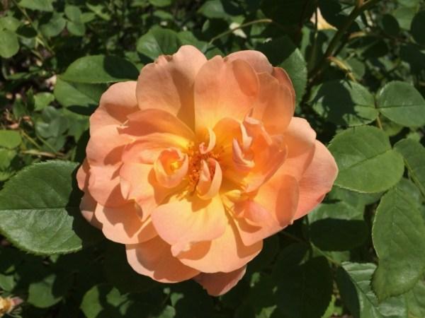 Lark Ascending rose in bloom