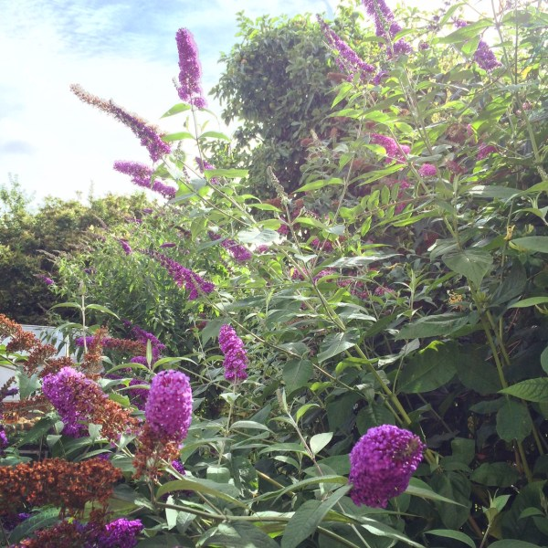 Buddleia in summer