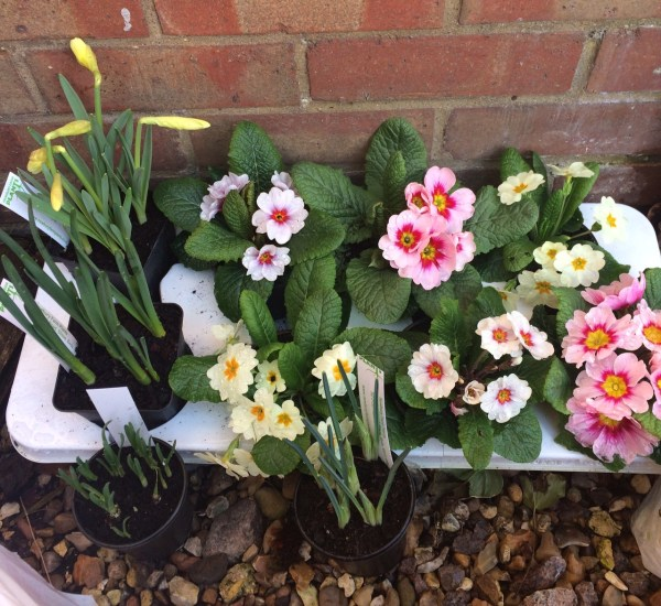 Polyanthus, daffodils ready for potting on