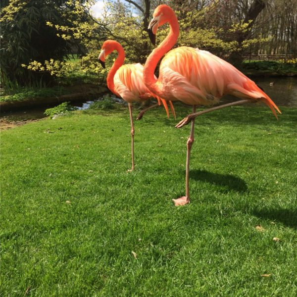 Flamingoes at Coton Manor