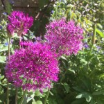 Purple for a buzzing wildlife garden