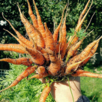 Thinning out Autumn King carrots