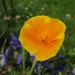Ten Drought-Tolerant Plants for your Cottage Garden