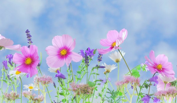 Cosmos and Lavender