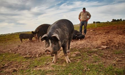 Family builds a paddock to plate Berkshire pig enterprise
