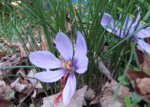 Saffron crocus flowers in the fall