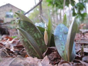 Trout lilies can be a predictor for when to plant peas and spinach when planting by signs.