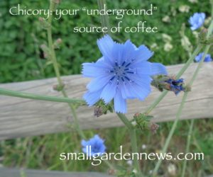 Chicory is a source of greens for both salads and cooking, and the roots can be roasted to add that New Orleans flavor to coffee.