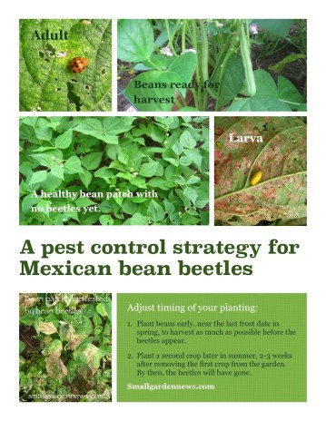 Stages of Mexican bean beetle infestation on bush beans, with a suggestion to alter timing of planting to harvest plenty of beans in spite of the beetles.