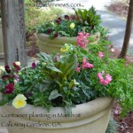 Large urn planters containing red veined sorrel, parsley, pansies, and snapdragons as seen at Calloway Gardens, GA., in late March.
