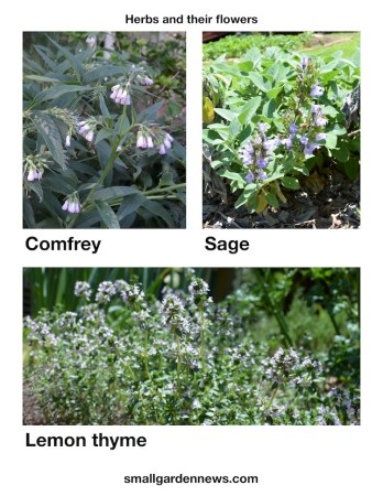 Comfrey, garden sage, and lemon thyme all had flowers on mother's day weekend.