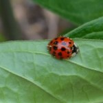 Adult Asian multicolored ladybug in the garden