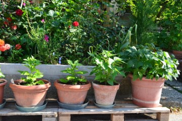 Peppers and green beans growing in containers.