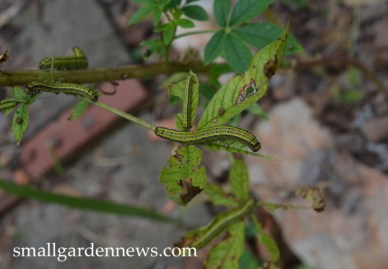 Armyworms have eaten all the leaves in this patch of cleome.