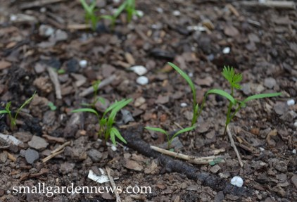 First leaves on carrot seedlings are strappy and narrow; the next leaves are more feathery.