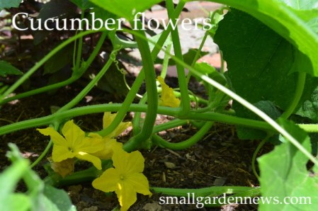 September flowers on cucumbers, planted as seeds in August.