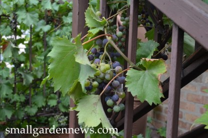 Grapevine trained on stair rail at Uncommon Ground in Chicago.