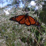 Monarch butterfly in the gardens at Monastery of the Holy Spirit, Sept. 22.