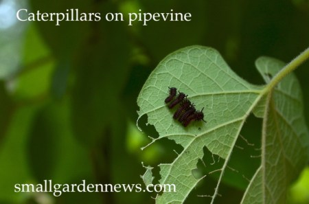 Caterpillars on a leaf of pipevine. If all goes well, they will mature to become pipevine swallowtail butterflies.
