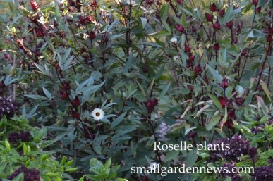 Roselle with hibiscus-like flowers and red calyxes showing.