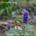Anise hyssop will die back in a light freeze, then grow back from the roots next spring.
