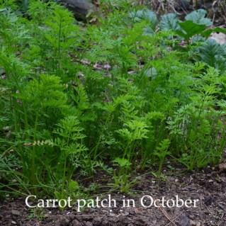 Carrots in the garden can withstand the first frost without being covered for protection.