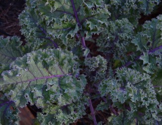 Closer view of one 'Red Russian' kale plant that has plenty of big leaves ready for harvest.