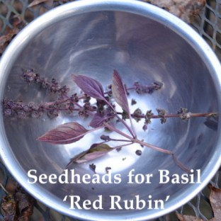 A few last seedheads for 'Red Rubin' basil, set aside to dry for collecting the seeds.