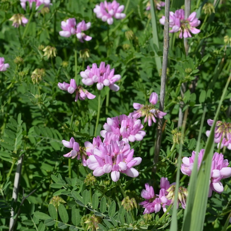 Tuscany wildflower crown vetch, growing near Montepulciano, Italy