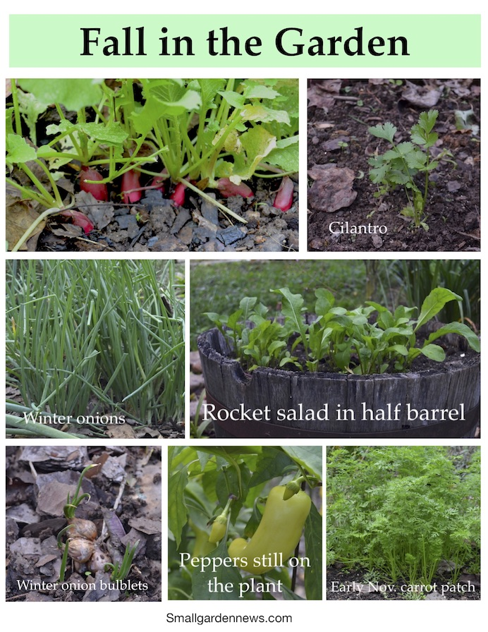 Collection of photos showing state of the garden in fall: radishes, green onions, carrots, cilantro, and more.