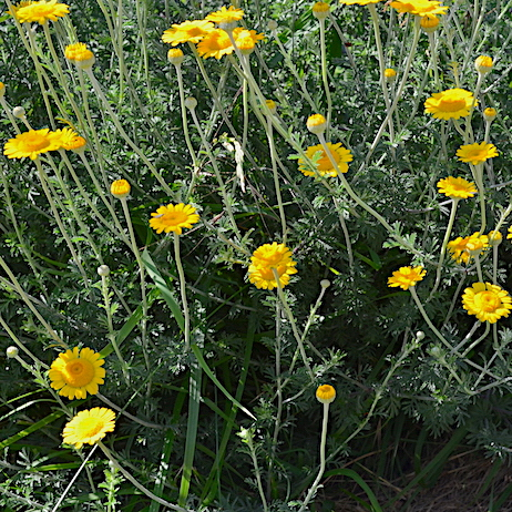 Tuscany wildlfower, the corn marigold, Glebionis segetum, growing near Montepulciano