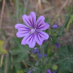 Tuscany wildflower the common mallow, or Malva sylvestris