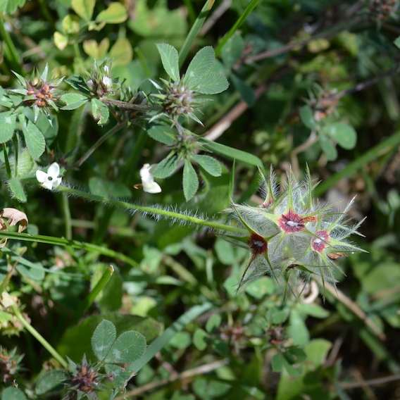 Tuscany wildflower Trifolium stellatum, called Star Clover, seen in the grassy strip between a vineyard and a road