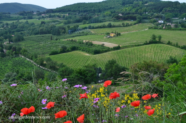 View from the roadside on one of my walks in Tuscany - wildflowers, vineyards, and olive groves.